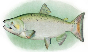 Extinction Possible for Spring-Run Chinook Salmon