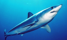 Shortfin Mako More at Risk than Previously Thought