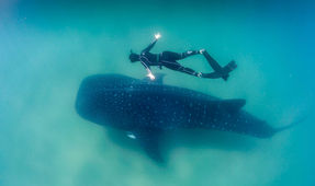 Plastic Spoon Lodged in Whale Shark's Digestive System