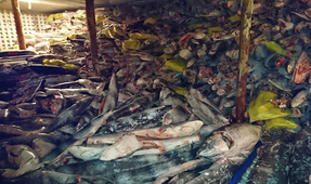 300 Tons of Illegally Caught Sharks and Fish Seized from Ship in Galápagos National Park Waters