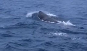 First Sighting of Sperm Whales in Pakistan