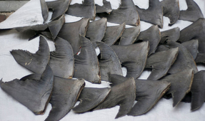 Why Banning Shark Fin Sales in US Won't Save Sharks