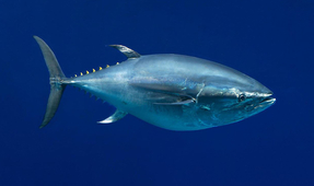 Good News for Pacific Bluefin Tuna