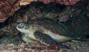 New Study Shows Most Species of Sea Turtles Are Recovering