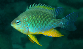 Solomon Islands Damselfish Named for Underwater Photographer Burt Jones