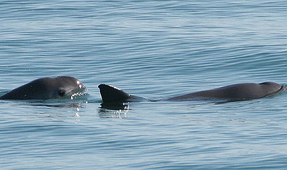 Scientists Catch but Release Critically Endangered Vaquita