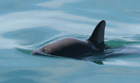 Critically Endangered Vaquita Porpoise Dies in Captivity
