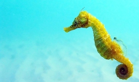Two Seahorse Species Living in Thames River