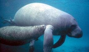 New Restrictions for Manatee Encounters at Three Sisters Springs