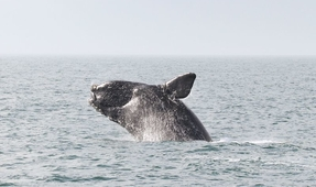 Entanglement Causes Elevated Hormone Levels in North Atlantic Right Whales