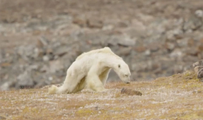 Image of Starving Polar Bear Warns of Climate Change