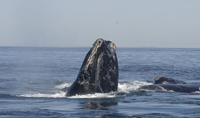 North Atlantic Right Whale Critically Endangered