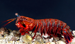 New Camera Mimics Mantis Shrimp's Eye