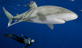 Oceanic Whitetip Sharks Receive Protection