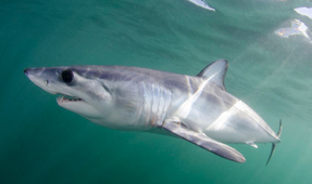 Shark Skin Could Revolutionize Aerodynamics
