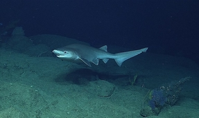 New Sixgill Shark Species Discovered in the Atlantic