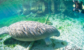 Florida Manatees Dying in Record Numbers