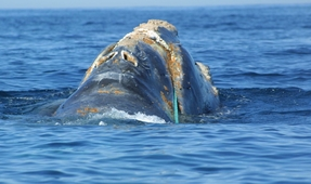 Extinction Looms: No North Atlantic Right Whale Births