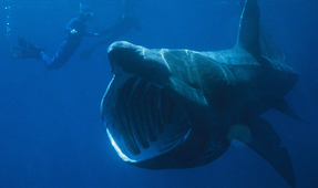 Large Aggregation of Basking Sharks of U.S. East Coast