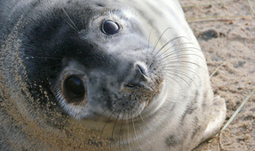 PSA: Don't Take Selfies with Seal Pups