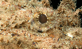 Stonefish Have Built-In Switchblades