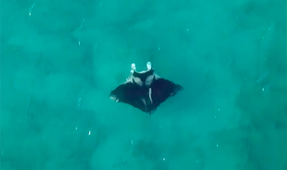 Video: Possible New Manta Ray Species