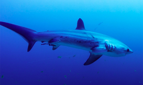 Video: Thresher Sharks in 8K