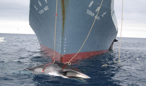 Japan to Propose Restarting Commercial Whaling at IWC Meeting