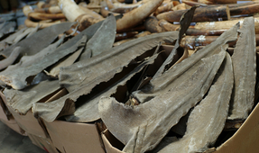 New Report: Demand for Fins Continues to Decimate Shark Populations
