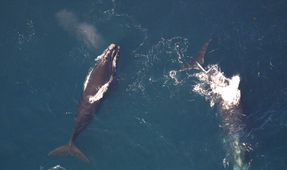 Right Whale Population Could Reach 25-year Low