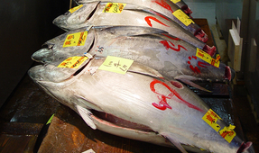 Record $3.1 Million Paid for Bluefin Tuna at Japanese Auction