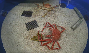 Watch: Time-Lapse Video of Molting Spider Crab
