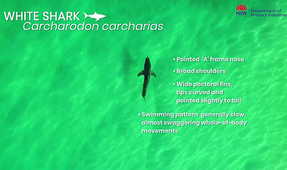 Video Tool Released by Australian Fisheries Body Identifies Different Sharks from the Air