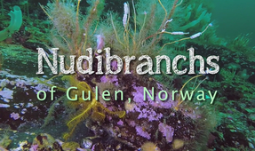 "New Video: Guido Schmitz's ""Nudibranchs of Gulen"""