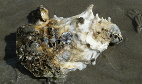 Study: Oysters and Clams on the Oregon Coast Contain Microplastics