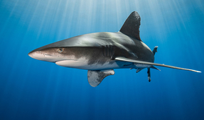Oceanic Whitetip Sharks Among 10 Species Added to Global Wildlife Agreement