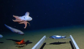 Dumbo Octopus Filmed More Than Four Miles Down Is World's Deepest