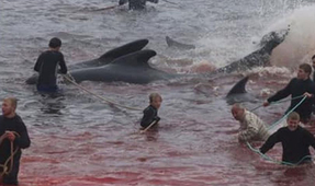 Faroe Islands Whale Hunt Begins Despite COVID-19 Pandemic