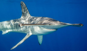 New Shark Research Tracks Movements of Smooth Hammerheads