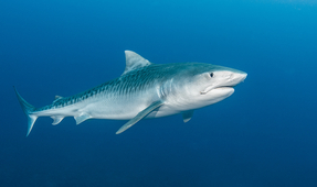 Study: Sharks Critical in Helping Damaged Ecosystems Recover After Extreme Climatic Events