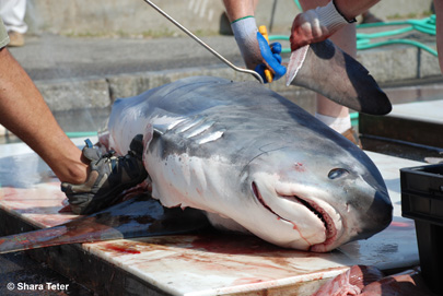 Oak Bluffs Shark Tournament Dismembering