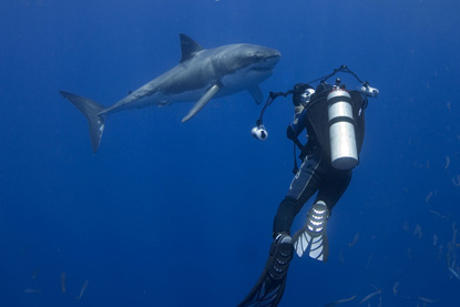 Great White Sharks, Jeb Corliss Guadalupe