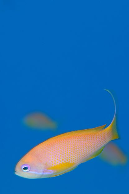 Eilat Anthias - Keri Wilk