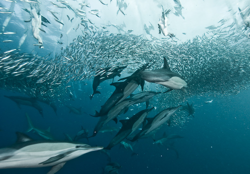 Sardine Run Underwater Photography - Bait Ball Frenzy  Alexander Safonov