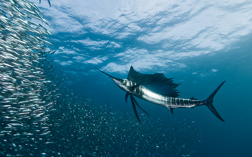 Sardine Run Underwater Photography - Bait Ball Sailfish Alexander Safonov