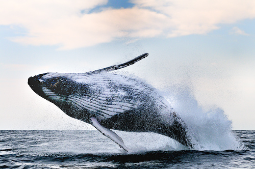 Sardine Run Underwater Photography - Whale Breach  Alexander Safonov