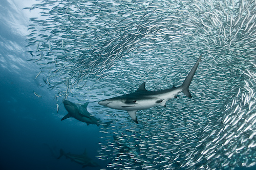 Sardine Run Underwater Photography - Bait Ball Sharks Alexander Safonov