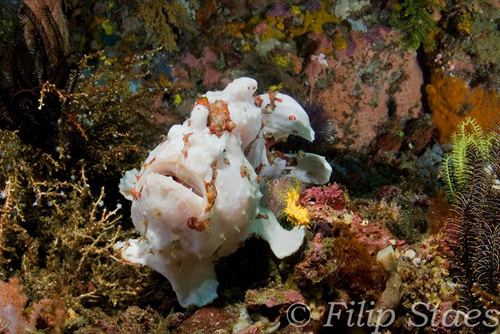 Underwater Photography - Komodo Frogfish- Filip Staes