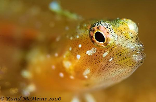 Underwater Super Macro Goby - Rand McMeins