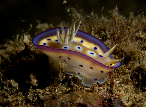 Nudibranch Anilao underwater photograph
